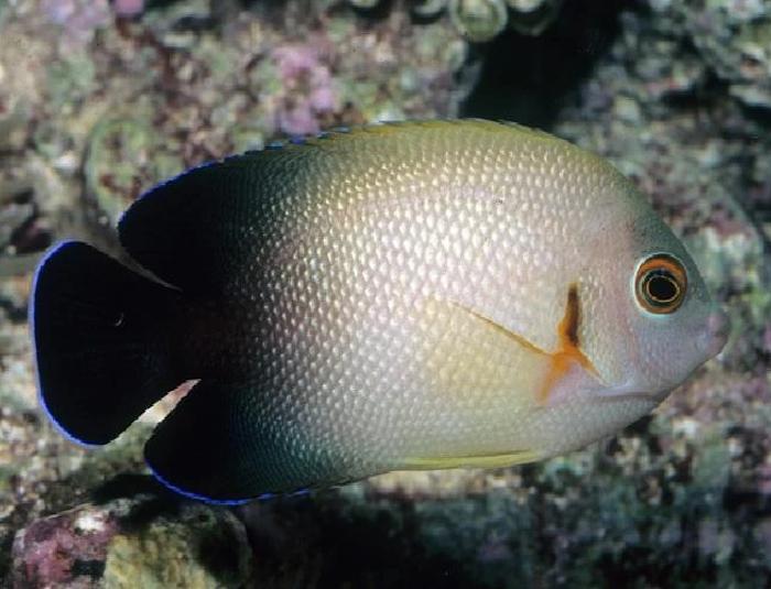 Half-Black Angelfish