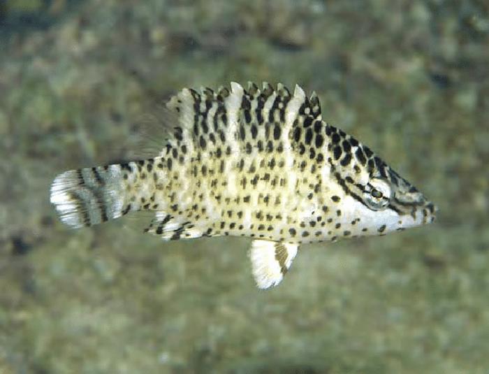 Parrotfish (Juvenile)