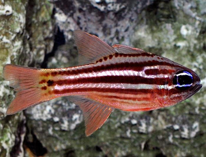 Striped Cardinalfish