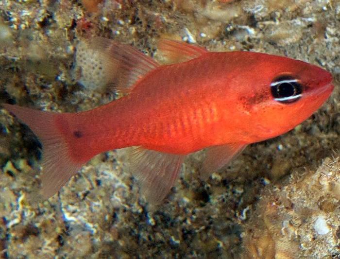 Red Tail Cardinalfish