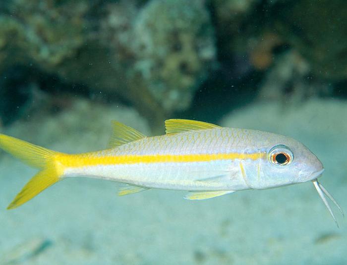 Yellow Back Goatfish