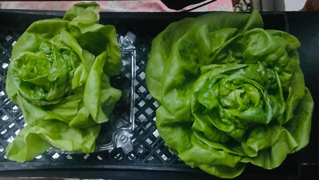 Two heads of butter lettuce show the difference between using WOWGROW and not using WOWGROW. The smaller one on the left was not fertilized with WOWGROW.