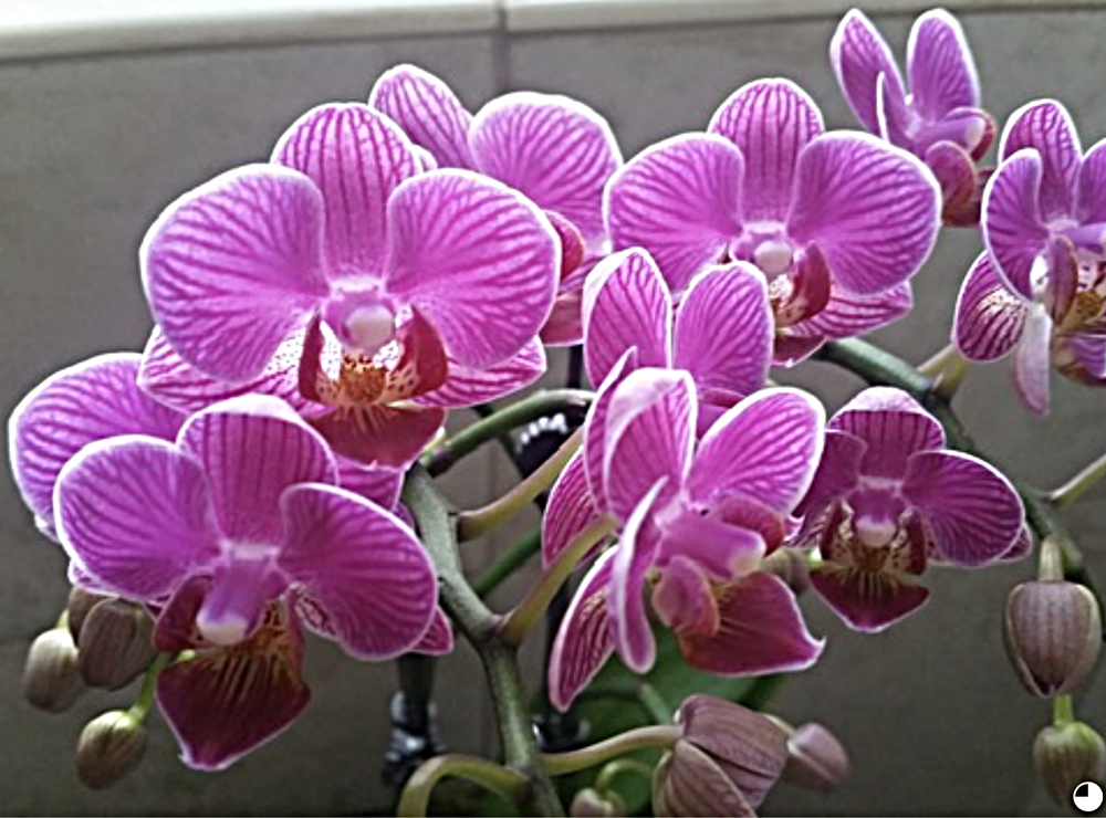 Photo of a thriving orchid that was fertilized with WOWGROW Blue Green Algae Fertilizer