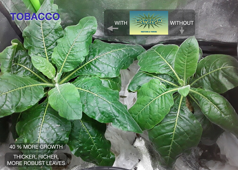 Comparison of two tobacco plants; one was fertilized with WOWGROWAlgae and the other wasn't. The plant that was fed WOWGROWAlgae is larger and hardier with leaves that are more upright than the other plant.