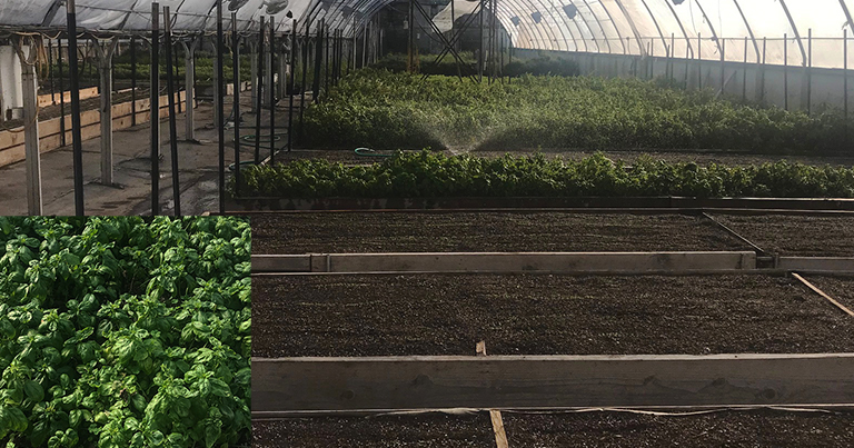 Large greenhouse with dozens of beds containing basil plants in various stages of growth
