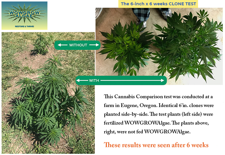 """Pictorially demonstrates the differences between the cannabis plants that were fed WOWGROWAlgae and the ones that were not. The plants that were fertilized with WOWGROWAlgae are much larger and much hardier."""""""