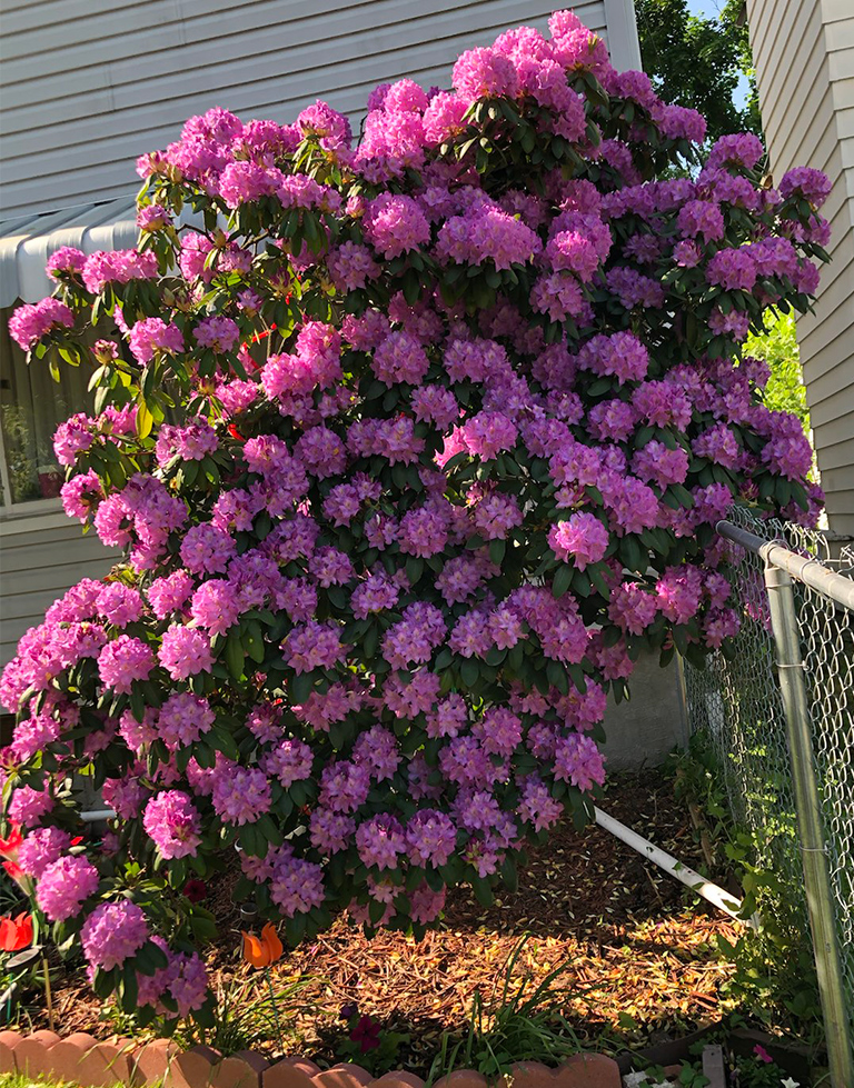 Rhododendron bush with many blooms!