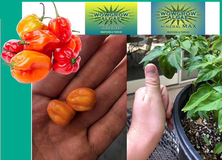 Photo comparison of Habanero peppers shows the superiority of peppers fertilized with WOWGROWAlgae!