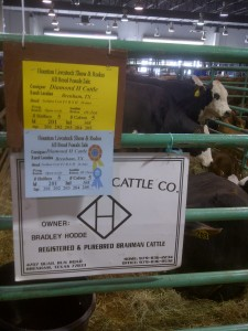 Grand Champion Commercial Females exhibited by Hodde Land and Cattle.
