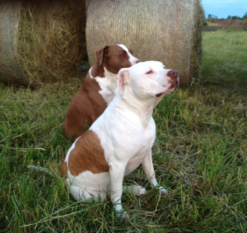 Dogs Among Timothy Hay Bales