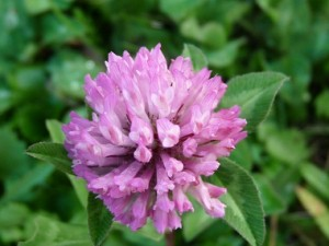 Organic Red Clover Extract Tincture