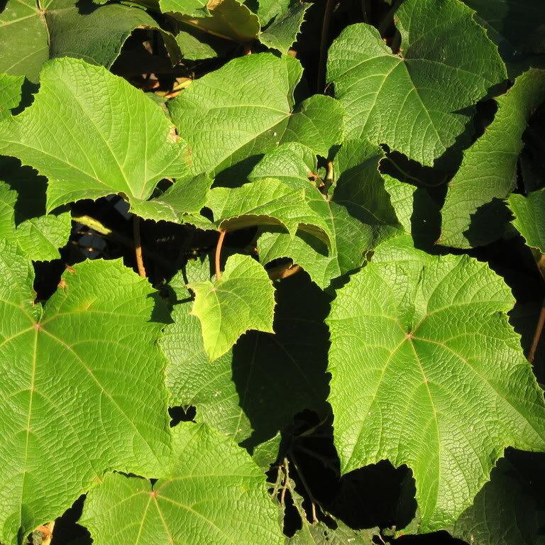 Organic Grape Leaf Extract Tincture