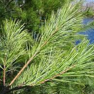 Organic White Pine Needle Tincture