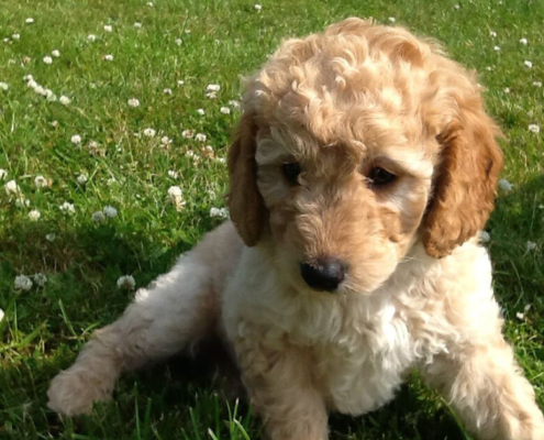 labradoodle-puppies-for-sale