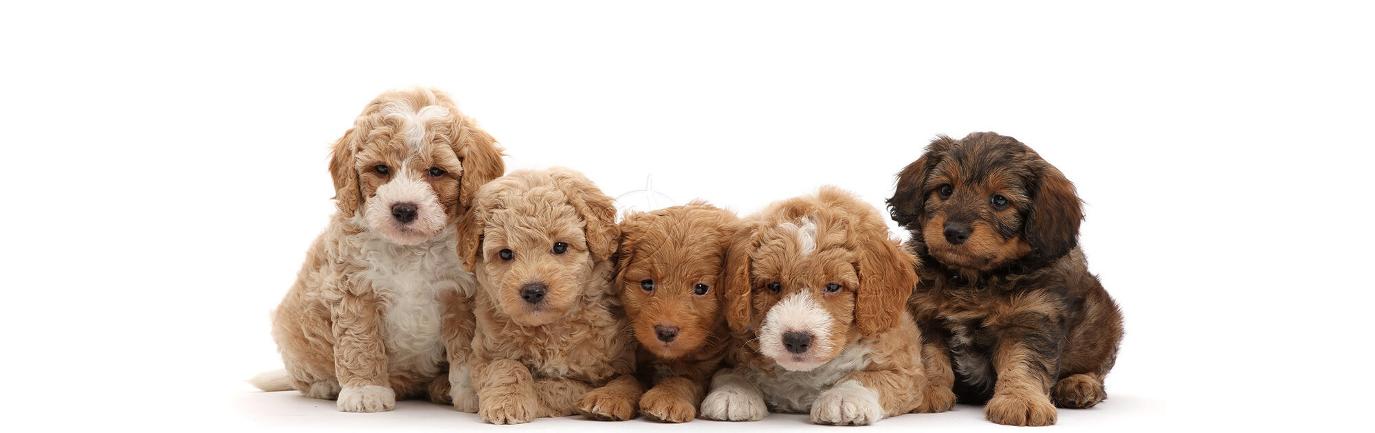 goldendoodle-puppies-for-sale