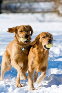 Golden Retrievers playing in the snow