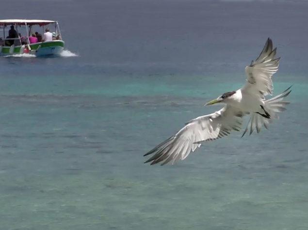 vlcsnap-2019-04-01-D28-12x6-Tern-at-Tiputa-Harbour-607