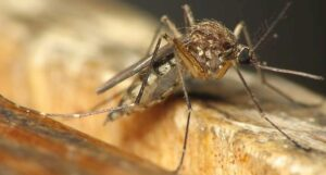 Mosquito Name