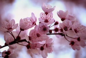 cherry-blossom