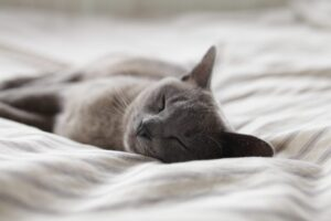 grey cat sleeping with eyes closed on a sheet