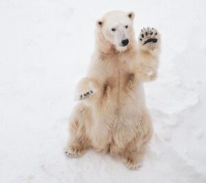 white polar bear with paw up in snow