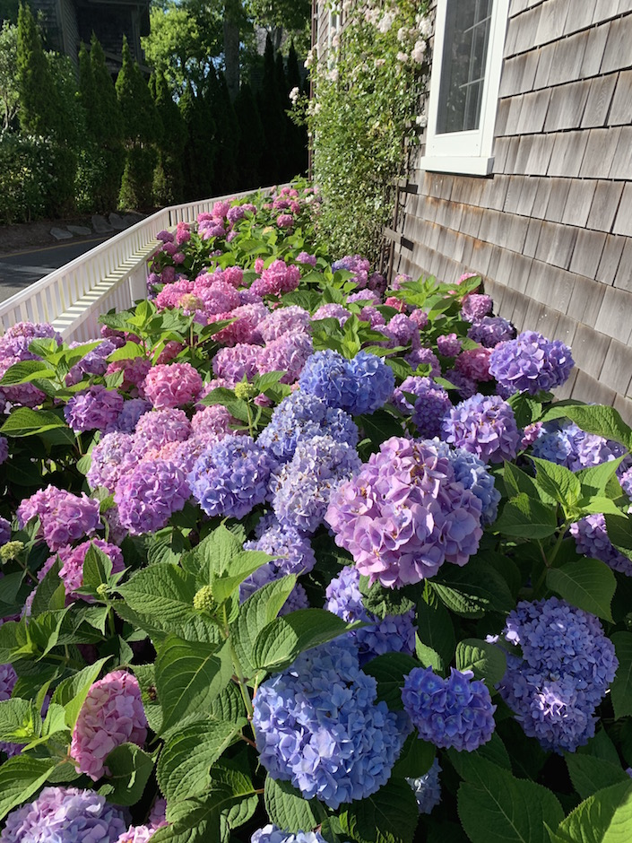 Hydrangeas Nantucket