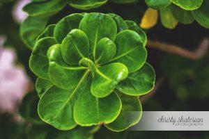 Princess Cays Succulent