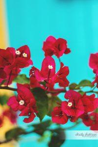 Bougainvillea Flowers in Princess Cays, Bahamas