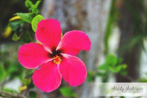 Princess Cays Hibiscus