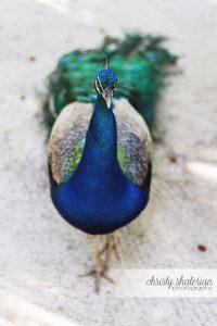 Roatan Peacock