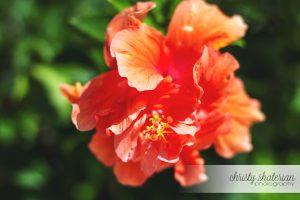 Roatan Double Hibiscus