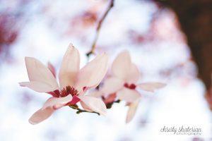 Tulip Tree in Nashville, TN