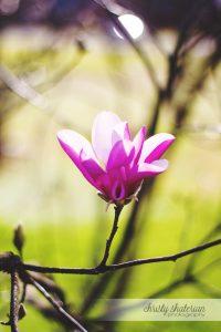 Blooming Tulip Tree