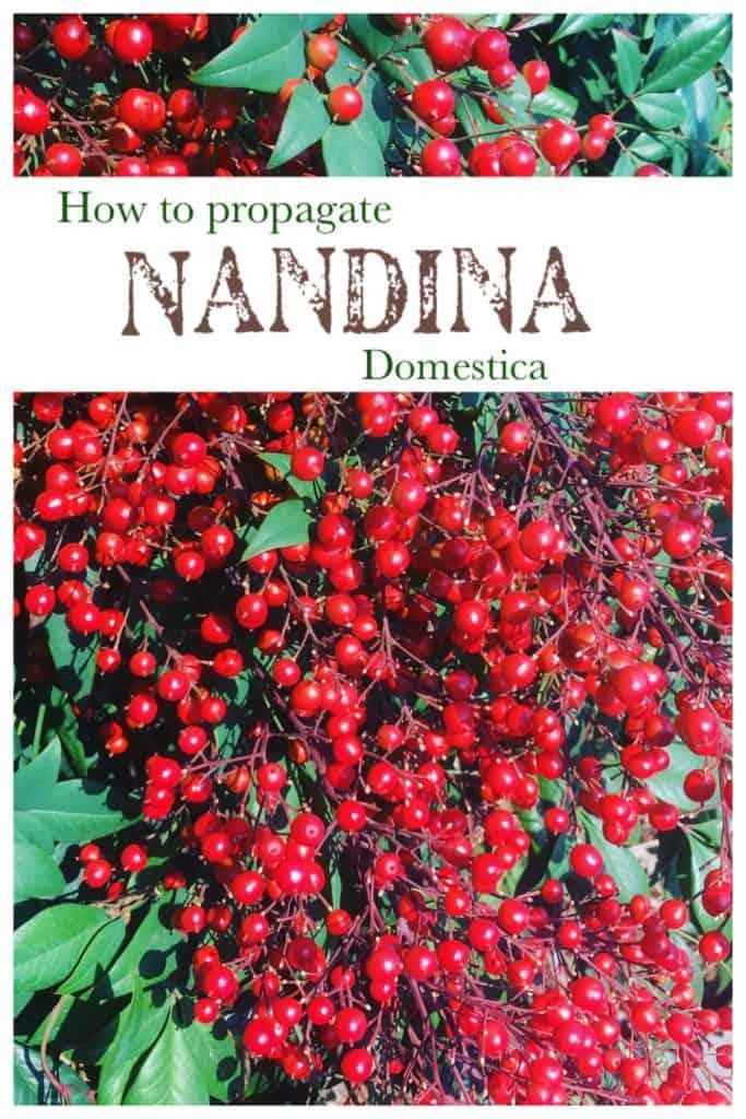 Propagate nandina domestica-Dwarf sacred bamboo- Using seed