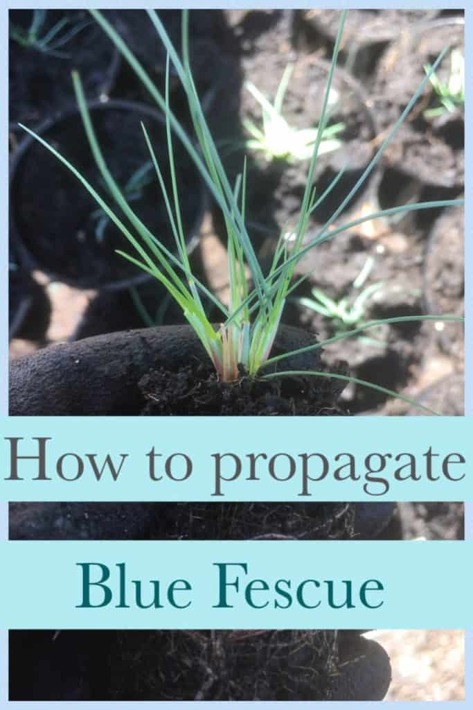 Propagate blue fescue-Festuca glauca