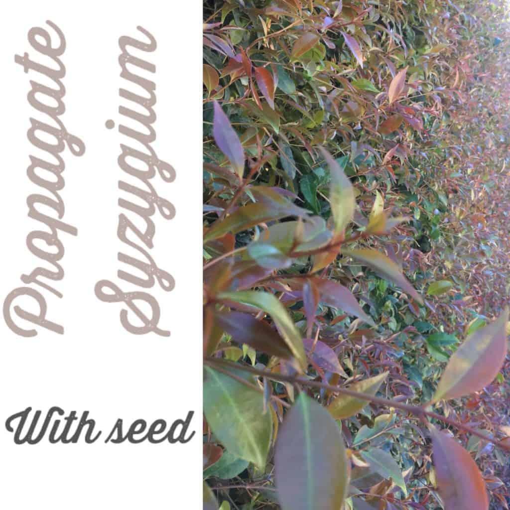 Propagate Syzygium australe- Brush Cherry