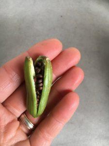 Dietes seed pod