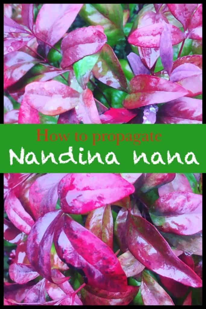 Propagate nandina nana-Dwarf sacred bamboo