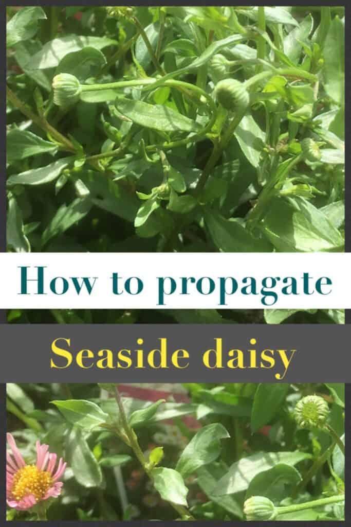Propagate Erigeron- Seaside daisy