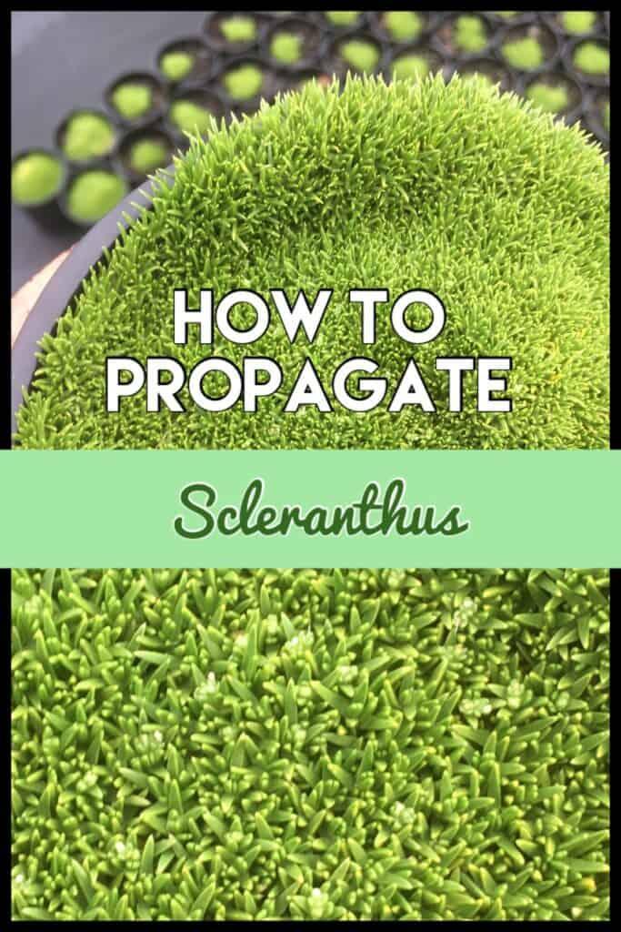 Propagate Scleranthus biflorus