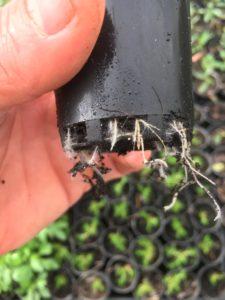 Scleranthus biflorus tubestock ready for garden
