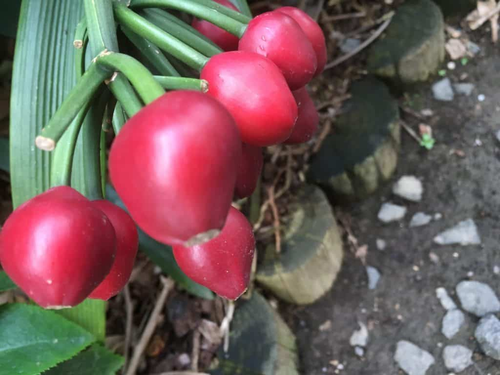 Clivia berries ready for harvest