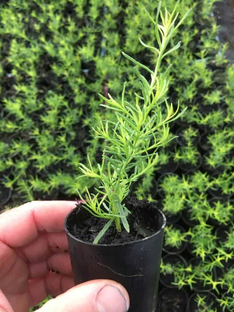 Myoprum parvifolium plant grown from cutting