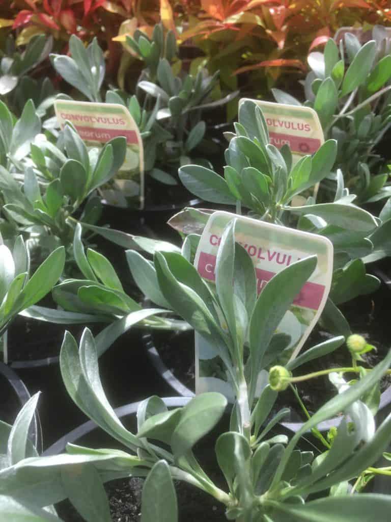 Convolvulus cneorum- Silver bush