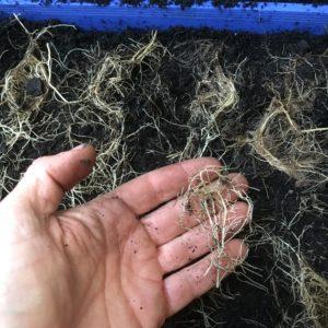 Ajuga root cuttings