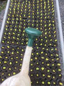 Watering sedum cuttings