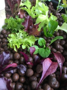 Leafy greens in aquaponic grow bed