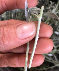 Convolvulus cneorum-silver bush cuttings