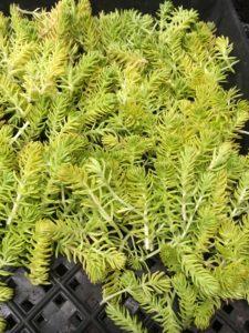 Sedum cuttings