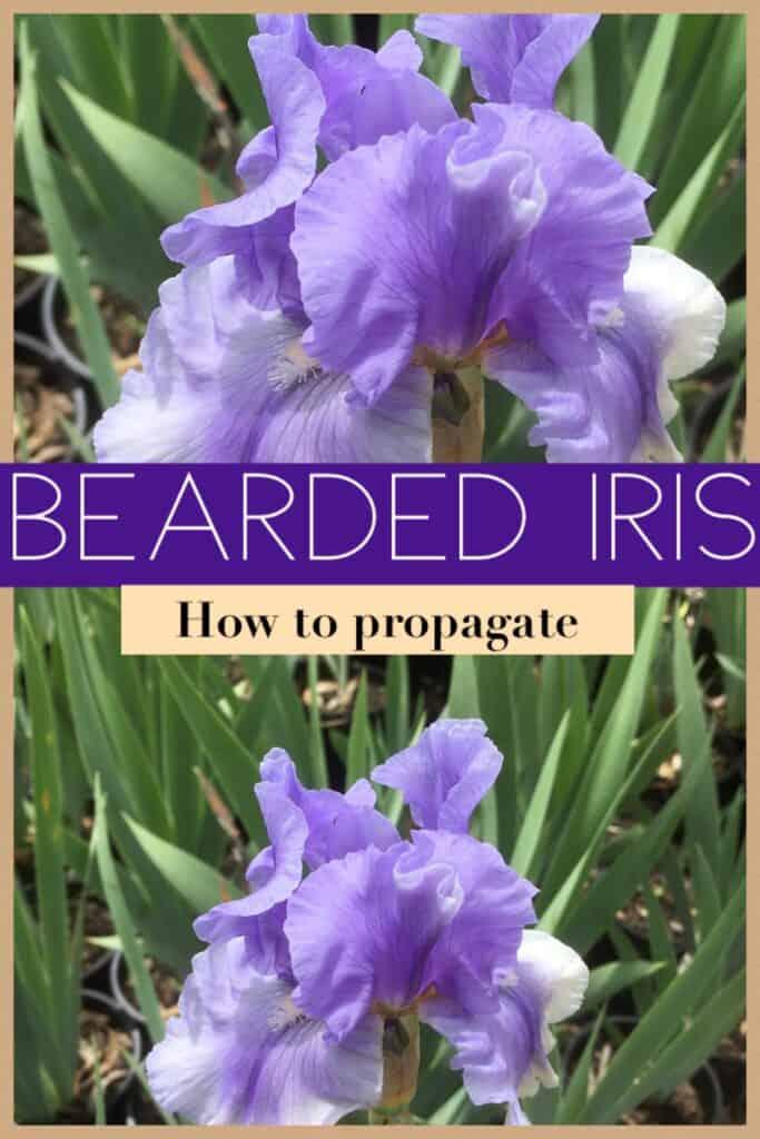 Propagate Bearded iris